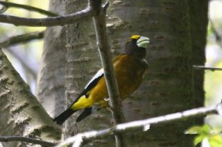 Evening Grosbeak 110440 (2) in tree