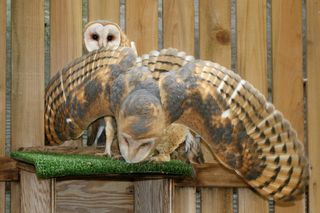 Barn Owls in raptor mue 052811 KM (20)