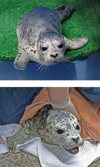 Harbor Seal 111082 and 111168 KM (5) rt