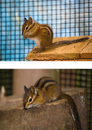 Townsends-Chipmunk-in-small