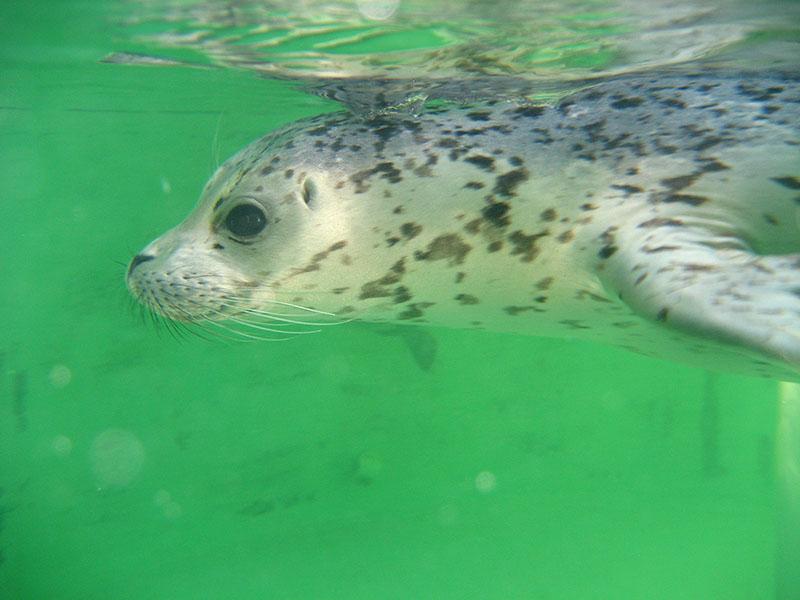 Seal Underwater 2