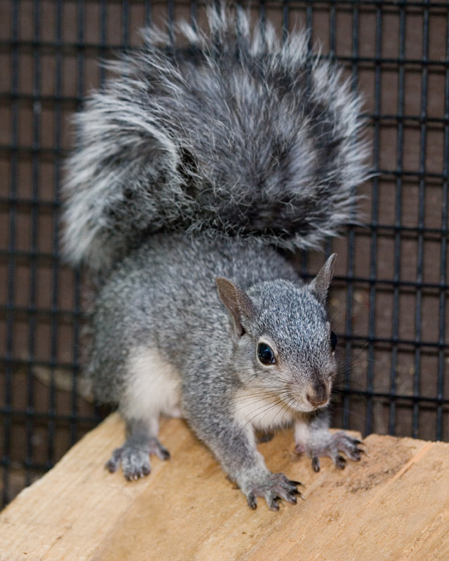 Western-Gray-Squirrel