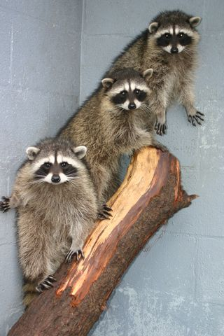 3 Young Raccoons 082504 KM