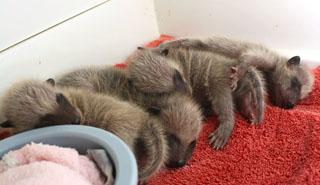 Baby Raccoons 1
