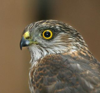 Sharp-shinned Hawk close-up small