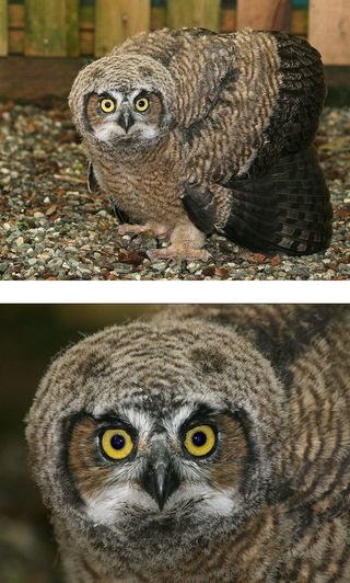 Great Horned Owl 110981