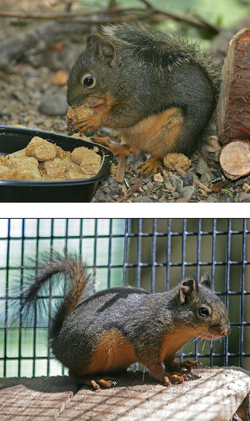 Douglas Squirrels