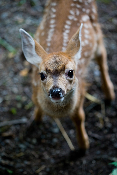 Black-tailed-Deer-111094-in