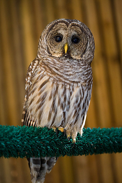 02-Barred-Owl-112495-in-RM1