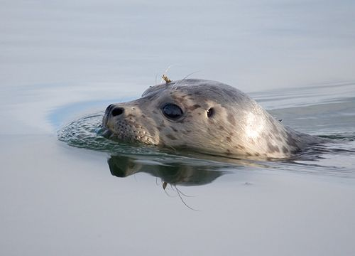 Harbor-Seal-release-3