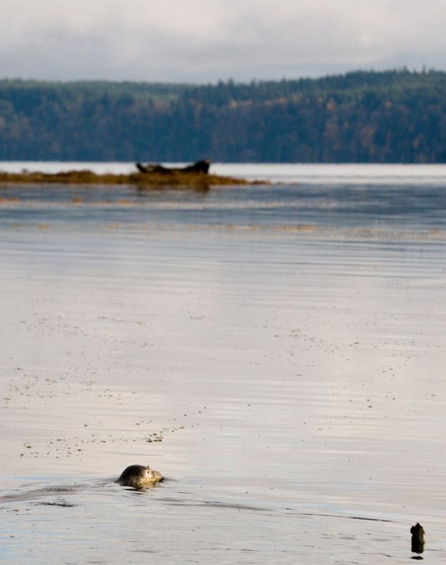 Harbor-Seal-release-4