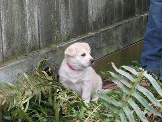 Lab puppy (4)