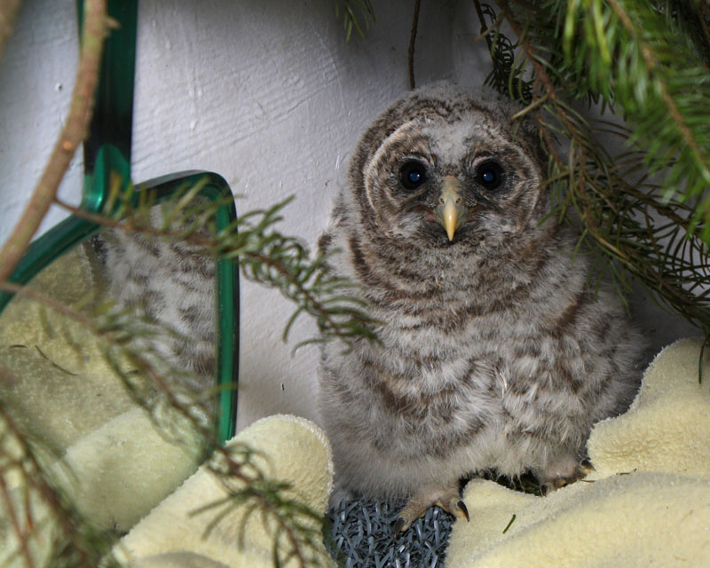 One Barred Owl