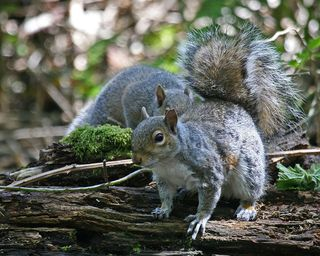 04 Eastern Gray Squirrel, PAWS Campus 051211 KM (21)