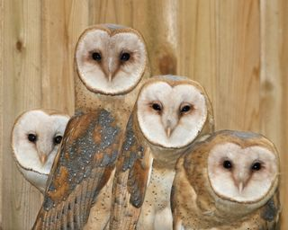 Barn Owls in raptor mue 052811 KM (11)