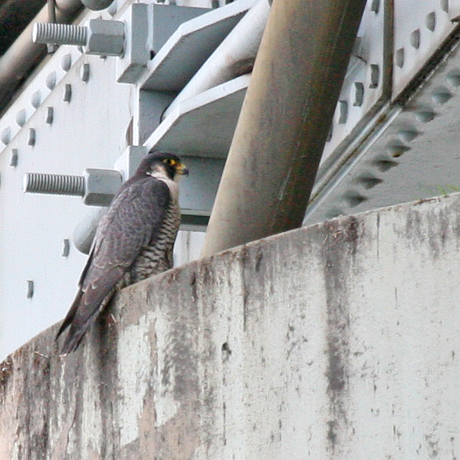Adult Peregrine on I-5 Bridge 061411 KM