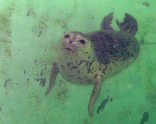 Seal Underwater 1