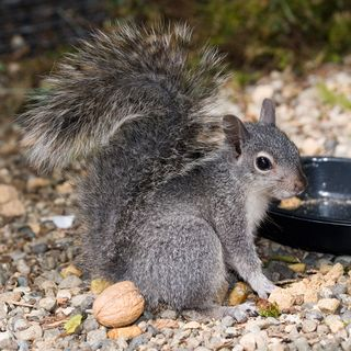 Western-Gray-Squirrel-in-GS