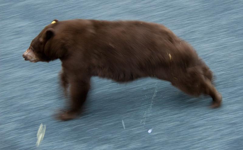 Black-Bear-111089