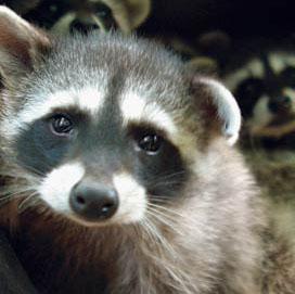 RaccoonWeb