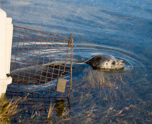 Harbor-Seal-release-2