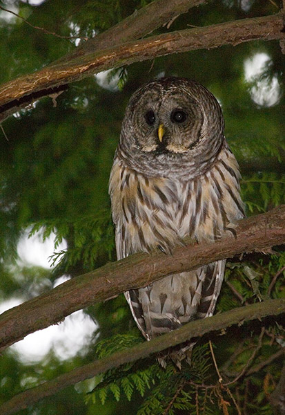 03-Barred-Owl-112495-releas