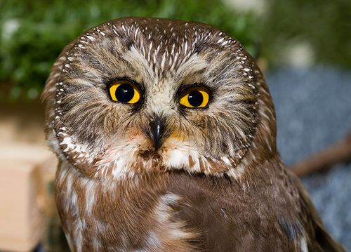 Northern-Saw-whet-Owl-12000