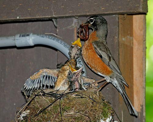 03 American Robin feeding nestlings, PAWS Campus 071311 KM (3)