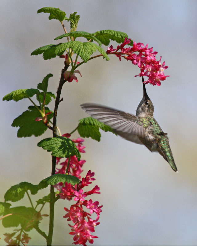 06 Anna's Hummingbird fledgling, PAWS Campus 041911 KM (2)