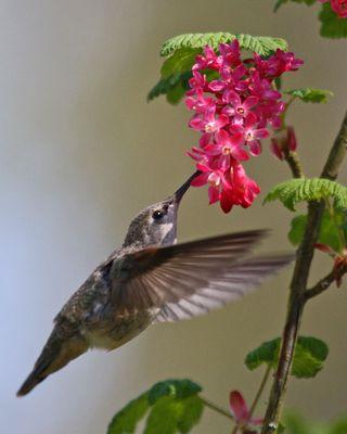 07 Anna's Hummingbird fledgling, PAWS Campus 041911 KM (3)