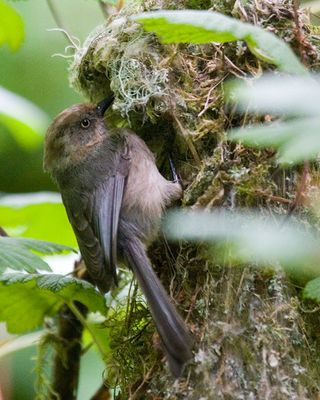 09 Bushtit at nest, PAWS Campus 071911 KM (20)
