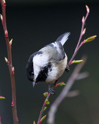 17 Black-capped Chickadee, PAWS Campus 040211 (3) KM