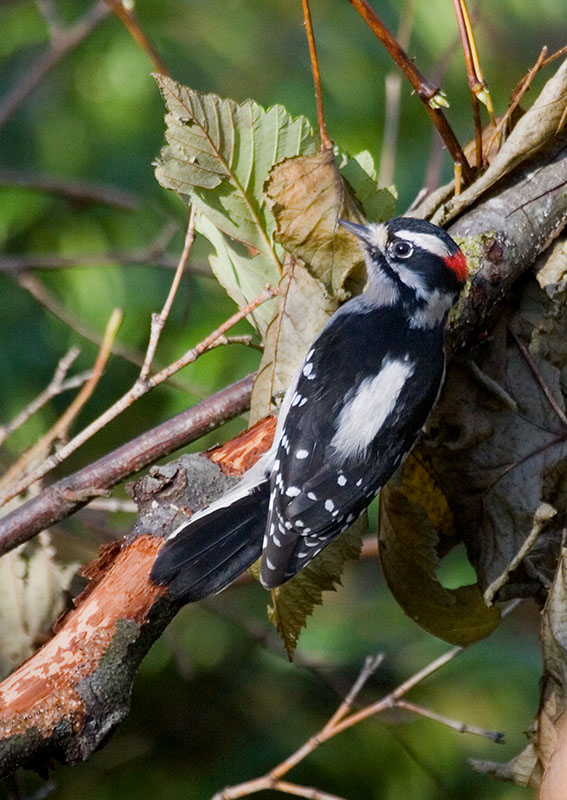 22 Downy Woodpecker, PAWS Campus 122111 KM (2)
