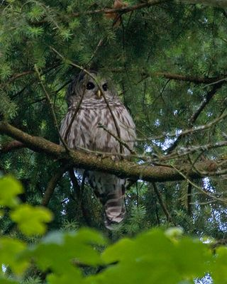26 Barred Owl, PAWS Campus 082411 KM (5)