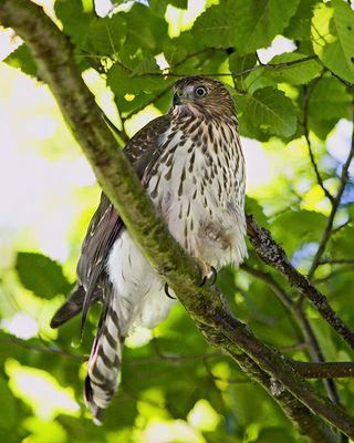 28 Cooper's Hawk, PAWS Campus 081611 KM (12)