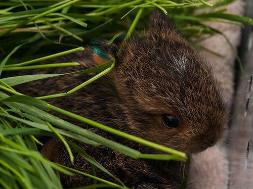 Snowshoe-Hare-babies,-05021
