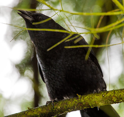 American-Crow-adult-1