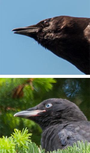 Crow_Comparison