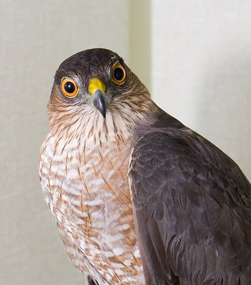 Sharp-shinned-Hawk-120015(2