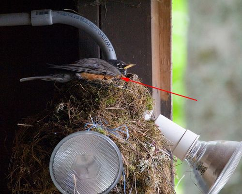 02 American Robin on nest, PAWS Campus 071211 KM