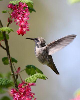 08 Anna's Hummingbird fledgling, PAWS Campus 041911 KM (5)