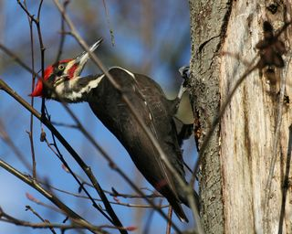 11 Pileated Woodpecker, PAWS Campus 011911 KM (54)