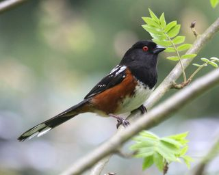 18 Spotted Towhee, PAWS Campus 050711 KM (2)