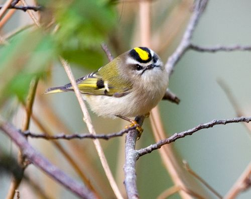 19 Golden-crowned Kinglet, PAWS Campus 120111 KM (2)
