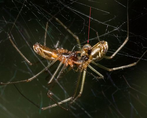 37 Spiders mating, PAWS Campus 082711 KM (8)
