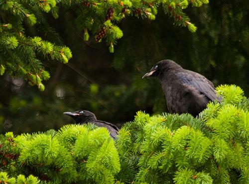 American-Crow-fledglings