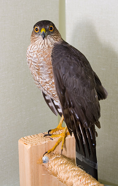 Sharp-shinned-Hawk-120015(1