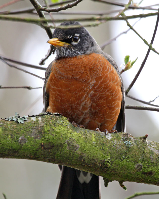 01 American Robin (1), PAWS Campus 040811 KM