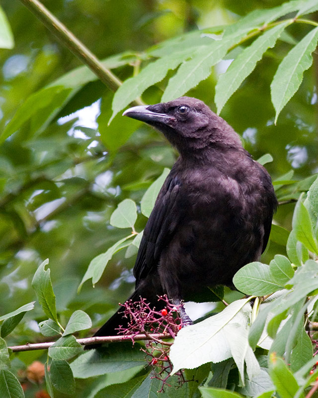 05 American Crow, PAWS Campus 072811 KM (29)