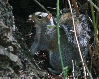 31 Eastern Gray Squirrel, PAWS Campus 051211 KM (37)